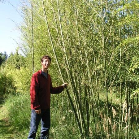 Phyllostachy nigra 'Bory' - aka Tiger Bamboo