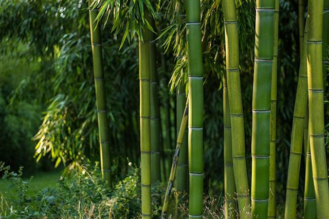 All of our bamboo are proven growers in the NW. Here's a stand of Phyllostachys vivax in Oregon that is thriving.  #bamboo #bamboooregon #oregonbamboo #stumpgrinding #landscaping #albanyoregon #corvallisoregon #corvallis #oregon #pnw #vivax #phyllostachys #phyllostachysvivax