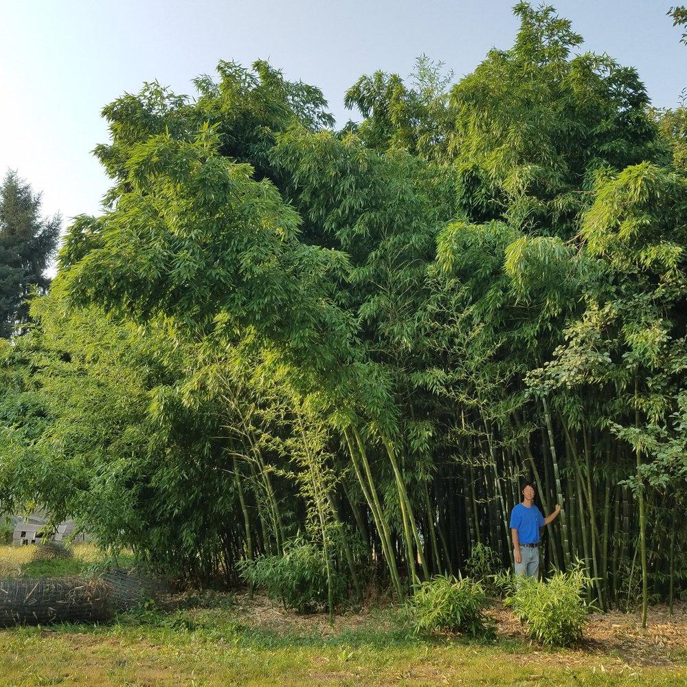 "Phyllostachys dulcis - aka ""Sweetshoot Bamboo"""