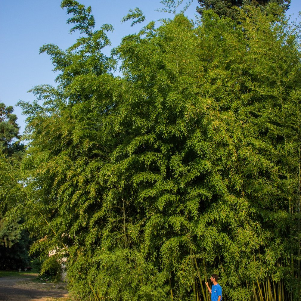 Phyllostachy nigra 'Henon' - aka Henon, Giant Gray Bamboo