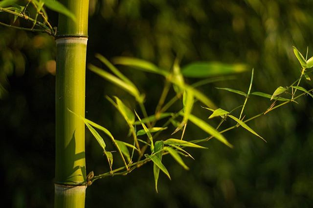 Phyllostachys vivax here in Oregon.  #bamboo #bamboooregon #oregonbamboo #stumpgrinding #landscaping #albanyoregon #corvallisoregon #corvallis #oregon #pnw #phyllostachysvivax