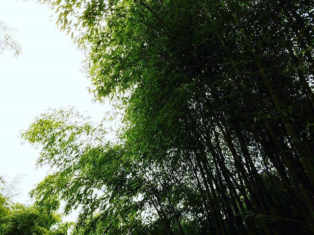 Bamboo and sky.  #bamboo #bamboooregon #oregonbamboo #stumpgrinding #landscaping #albanyoregon #corvallisoregon #corvallis #oregon #pnw