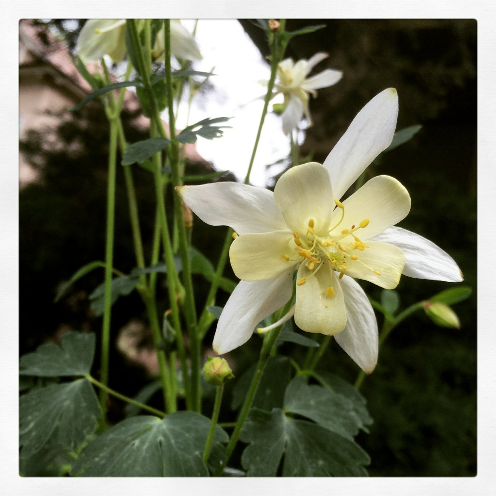 Columbine flower credit Kirsten Akens June 2015
