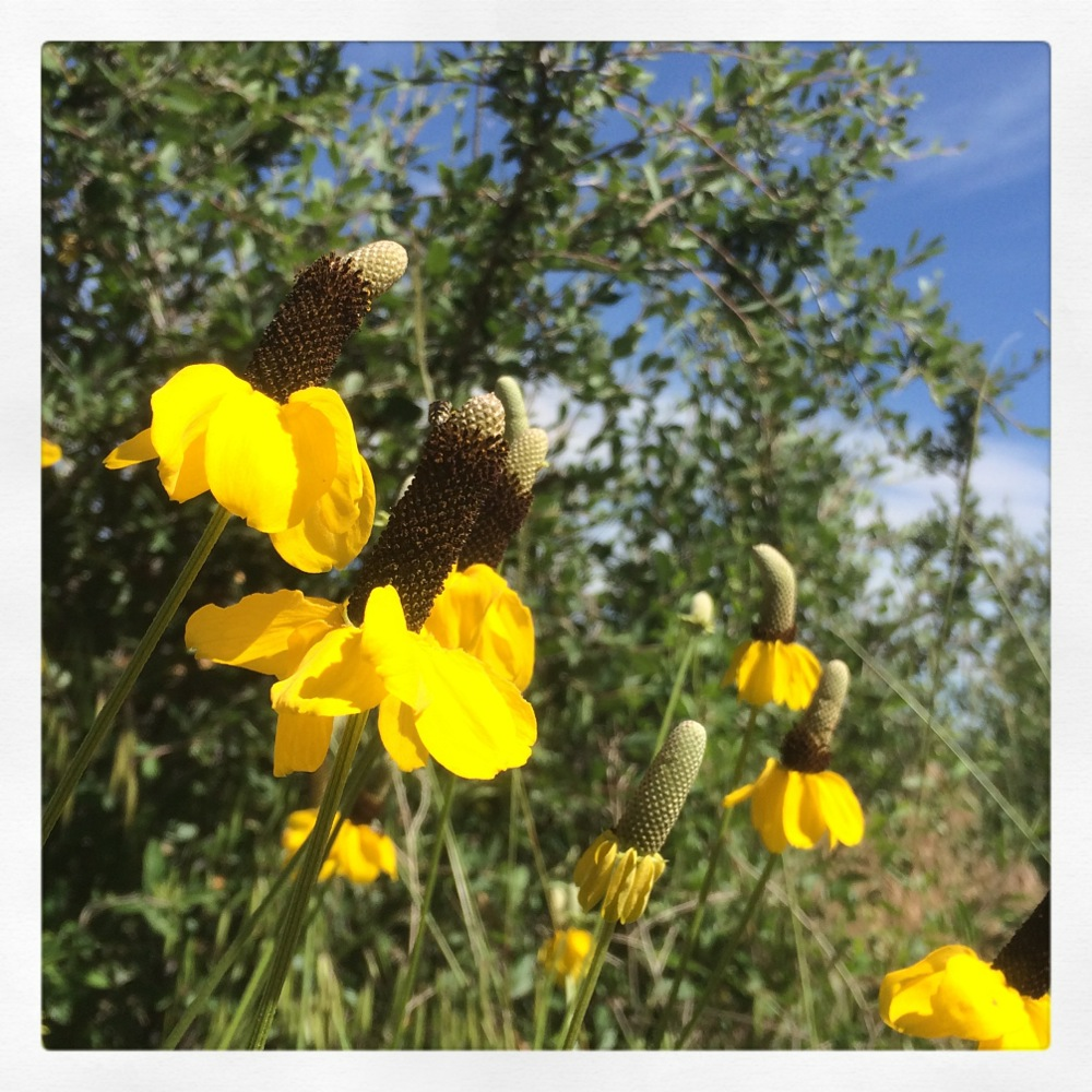 Yellow flowers Colorado credit Kirsten Akens July 2015