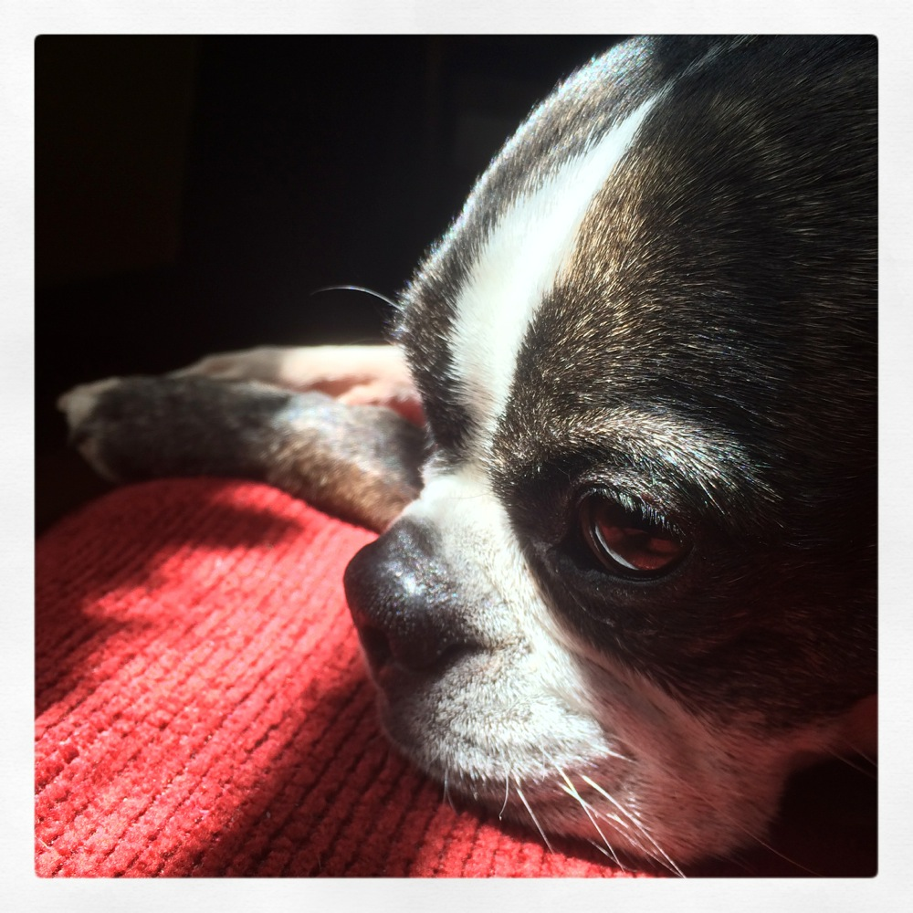 Lucy the Boston Terrier, credit Kirsten Akens 2015