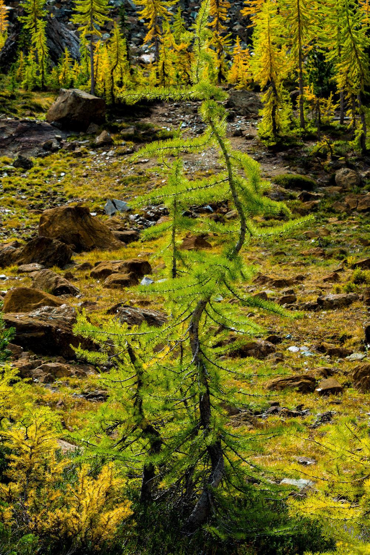 Baby Alpine Tree