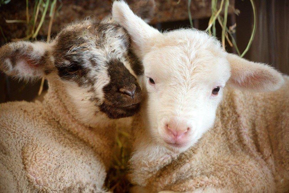 Nikki and Ruben Sprung raise sheep and lamb.