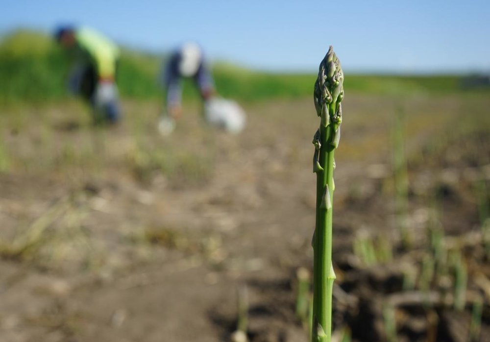 Asparagus in Iowa-01223.jpg