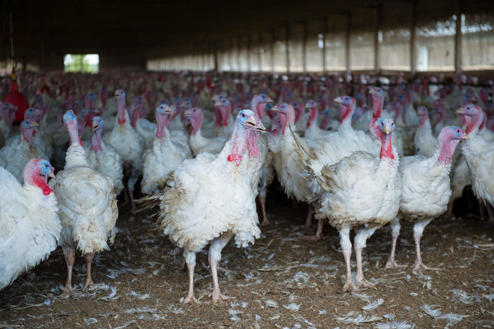 The   Grabers   raise turkeys from hatching until they reach 19   week  . The turkeys quickly reach market weight without the use of hormones or antibiotic supplements.