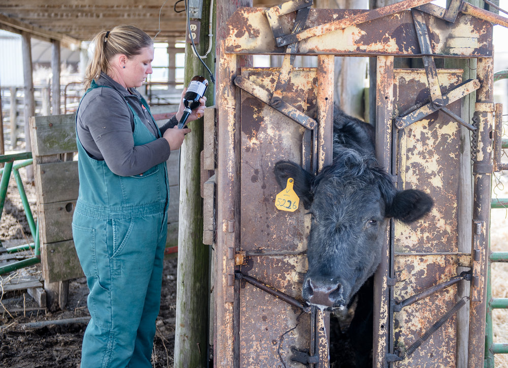 Katie Lang draws medicine from a bottle to help with a cow that recently gave birth to a calf.