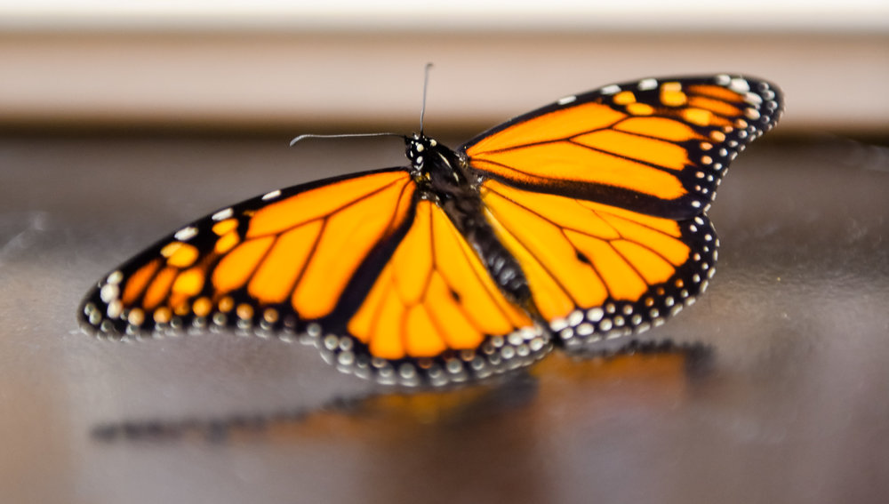 This spring, gardeners and farmers alike are encouraged to plant areas of pollinator habitat across Iowa to help the survival of the beautiful monarch butterfly