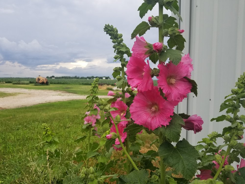 Hollyhocks bloom throughout the summer. Photo credit: Darcy Maulsby.