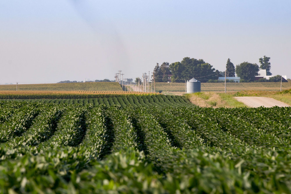 Rows of soybeans on Darcy Maulsby's farm. Photo credit: Darcy Dougherty Maulsby