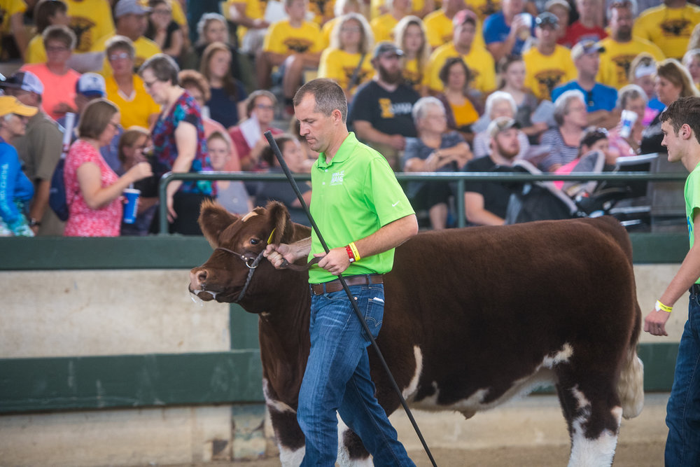 Secretary of Agriculture, Mike Naig, walks his steer on a parade lap during the Governor's Charity Steer Show at the Iowa State Fair. Naig earned the Showmanship award during the event. Photo credit: Joseph L. Murphy/Iowa Soybean Association