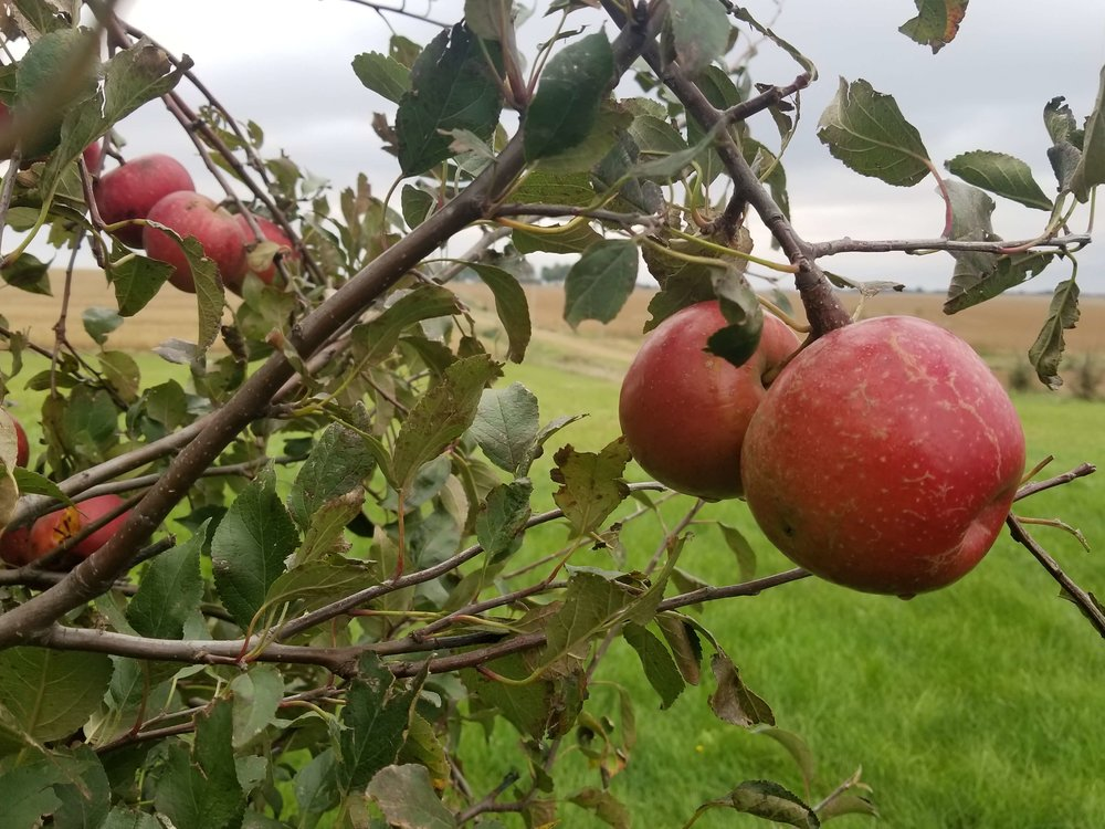 Darcy has an abundant crop of apples in her orchard. She's planning to make a farm-fresh Chunky Apple Cake with Butterscotch Sauce. Photo credit: Darcy Dougherty Maulsby
