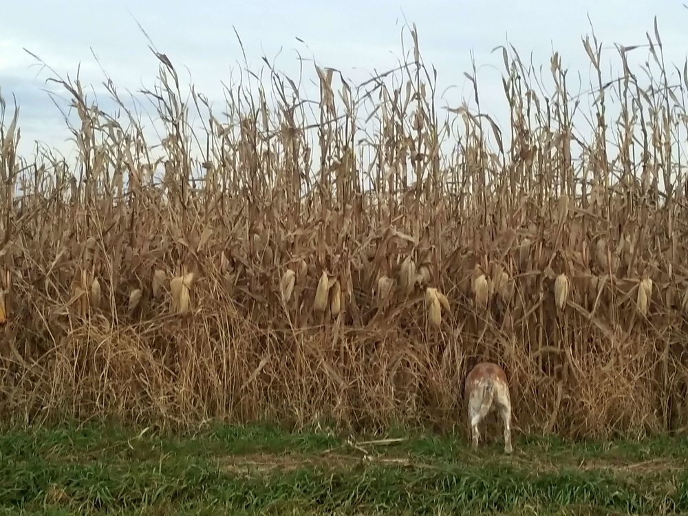 Maggie the red heeler sniffs cornfields before the crop is harvested. Photo credit: Darcy Dougherty Maulsby