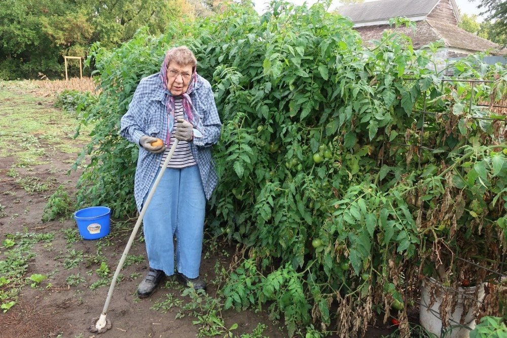 Tom's mom Sally picking fresh tomatoes from her own plants in 2017. Photo credit: Tom Oswald