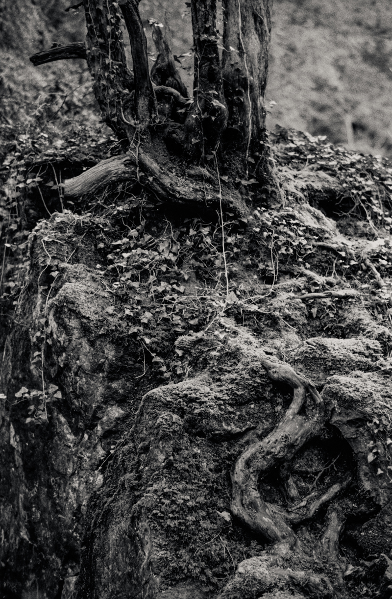 This tree seems to be growing from out of the very rock. 365 Steps, Fuji ACROS 100 in Adox FX-39.