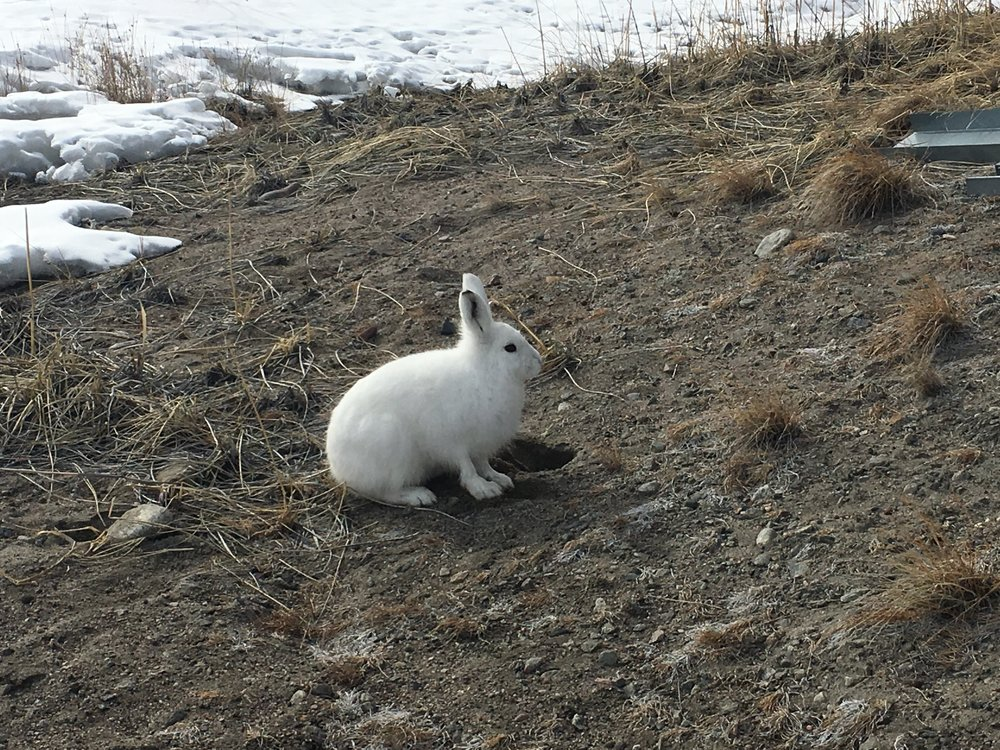 Arctic Hare: I had crawl about 20 feet and take 30 photos to get this one good image!