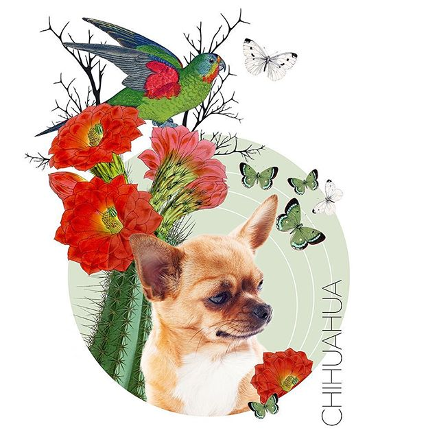 In the studio working on a new series of pet portraits. #chihuahua #petportraits #ateliersage #vavabode #nadinesage #digitalcollage