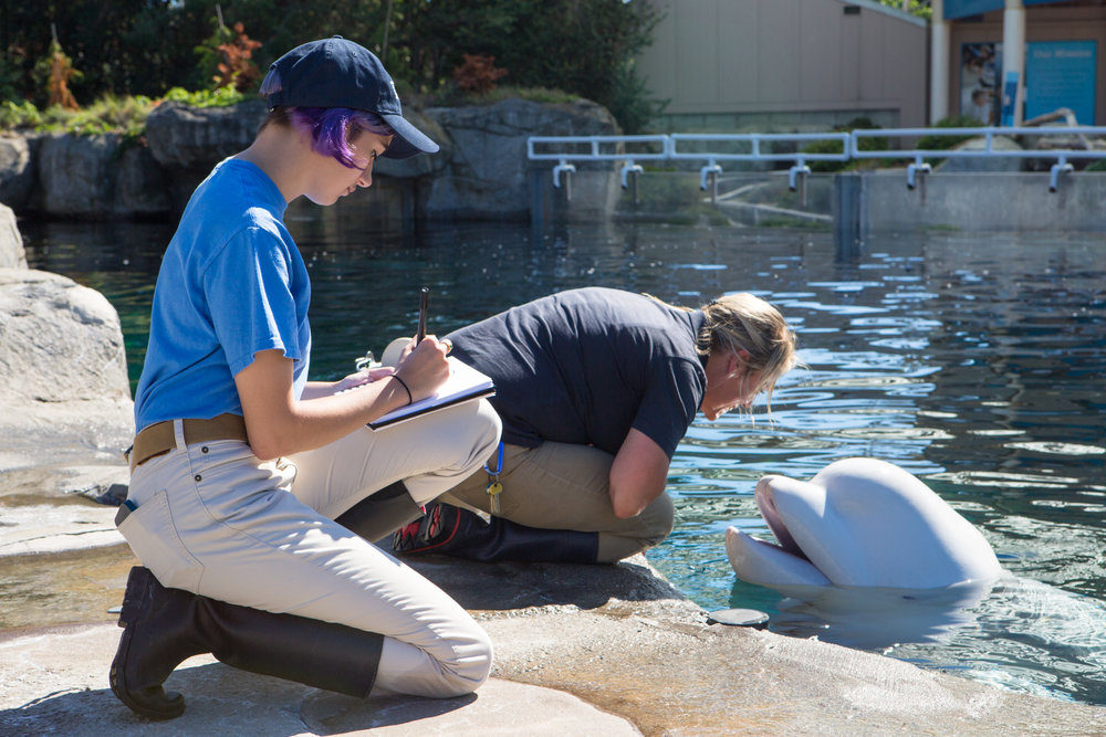 Whiteley sketching Juno, a beluga whale, and his trainer at Mystic Aquarium. Photo by Jo Sittenfeld/RISD