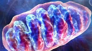 mitochondrie.jpeg