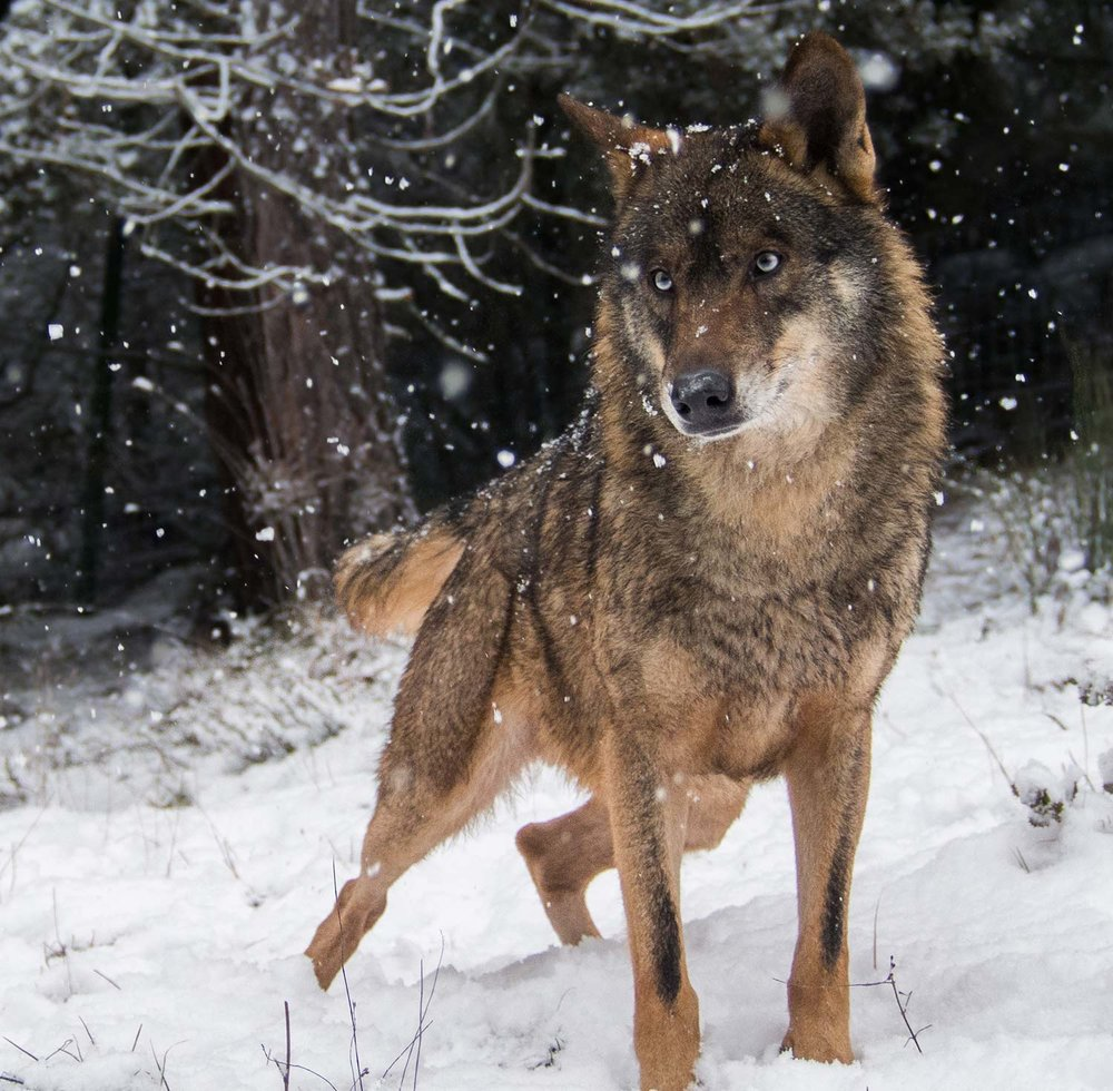 Lobo-ibérico (zona branca no focinho e listas negras nas patas dianteiras).