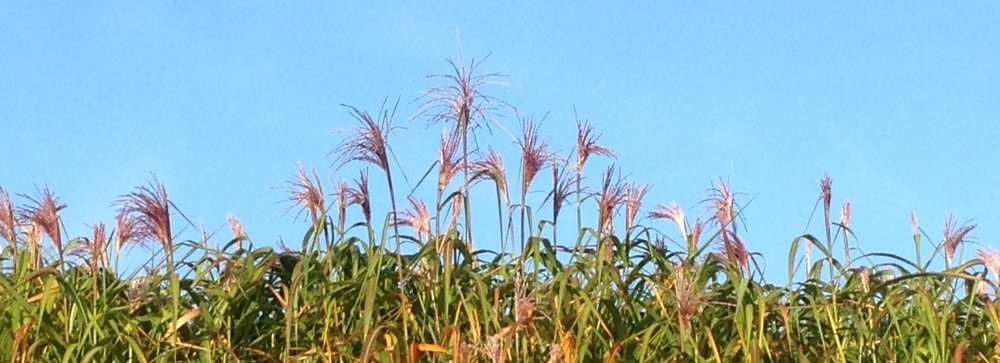 Miscanthus in its flowering stage.