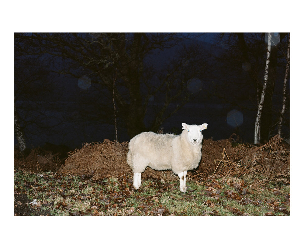 Ghost sheep, Loch Eil, Scotland.