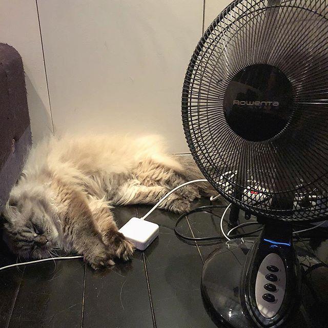 Hot summer ☀️☀️☀️ #canicule #paris #heatwave #hotsummer #hot #ventilateur #fan #catsoninstagram #catstagram #catsofinstagram #instacats #catstyle #cats
