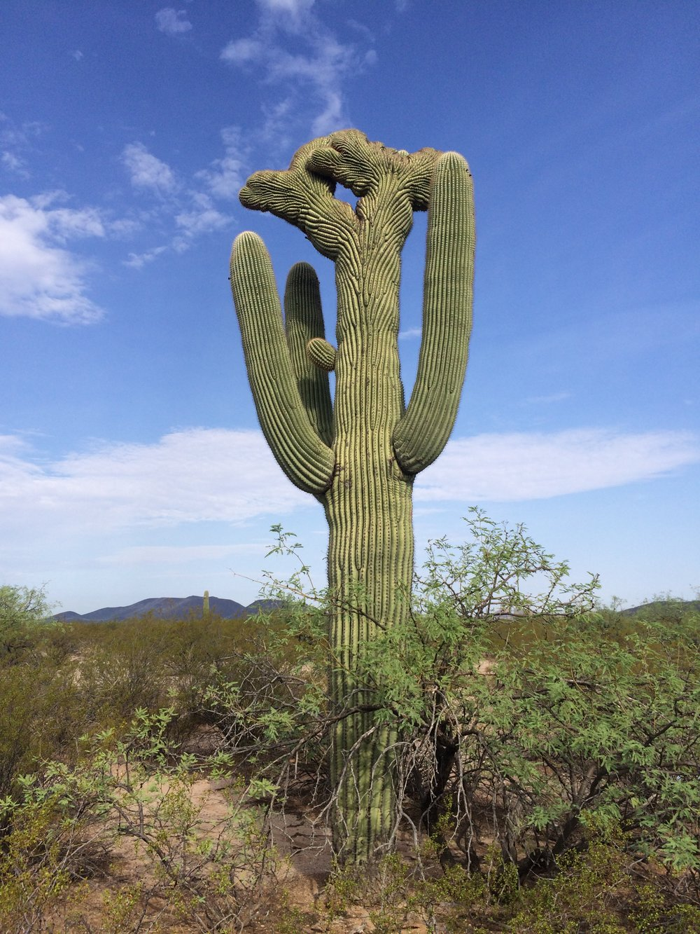 Double Crested Saguaro