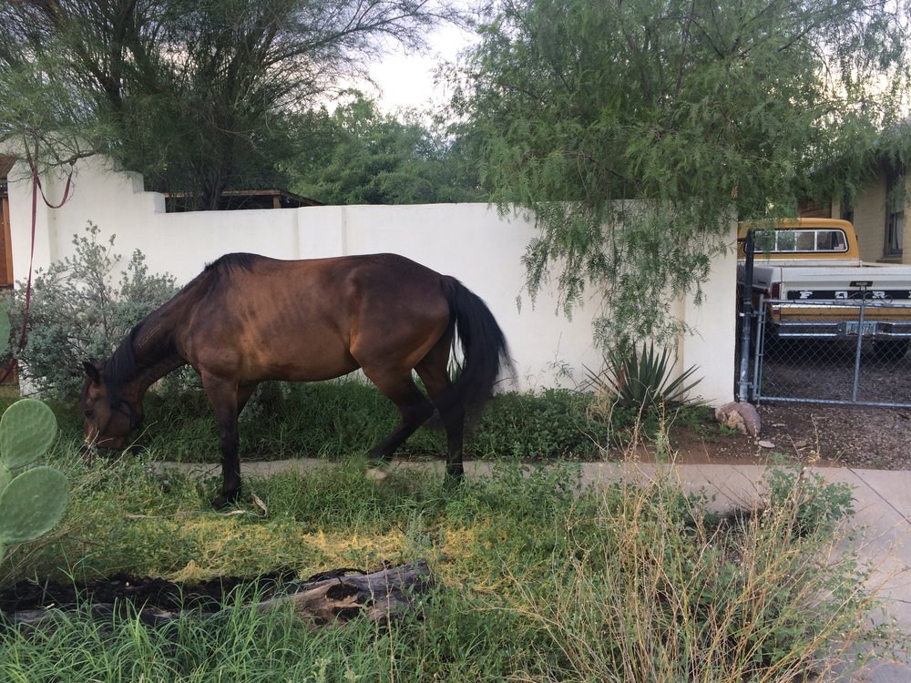 Horse in Downtown Tucson