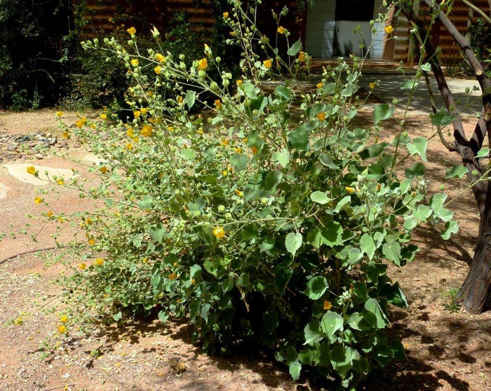 Image credit: http://www.public.asu.edu/~camartin/plants/Plant%20html%20files/Abutilon%20palmeri.jpg