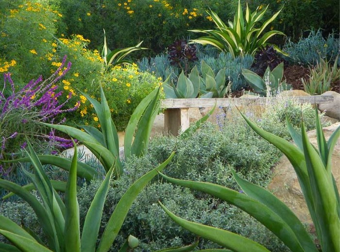 A lovely garden with Mexican Bush Sage on the left. Also featured are a couple specieis of Agave, a hybrid Aloe, and Tecoma stans. Credit: Pat Brodie Landscape Design
