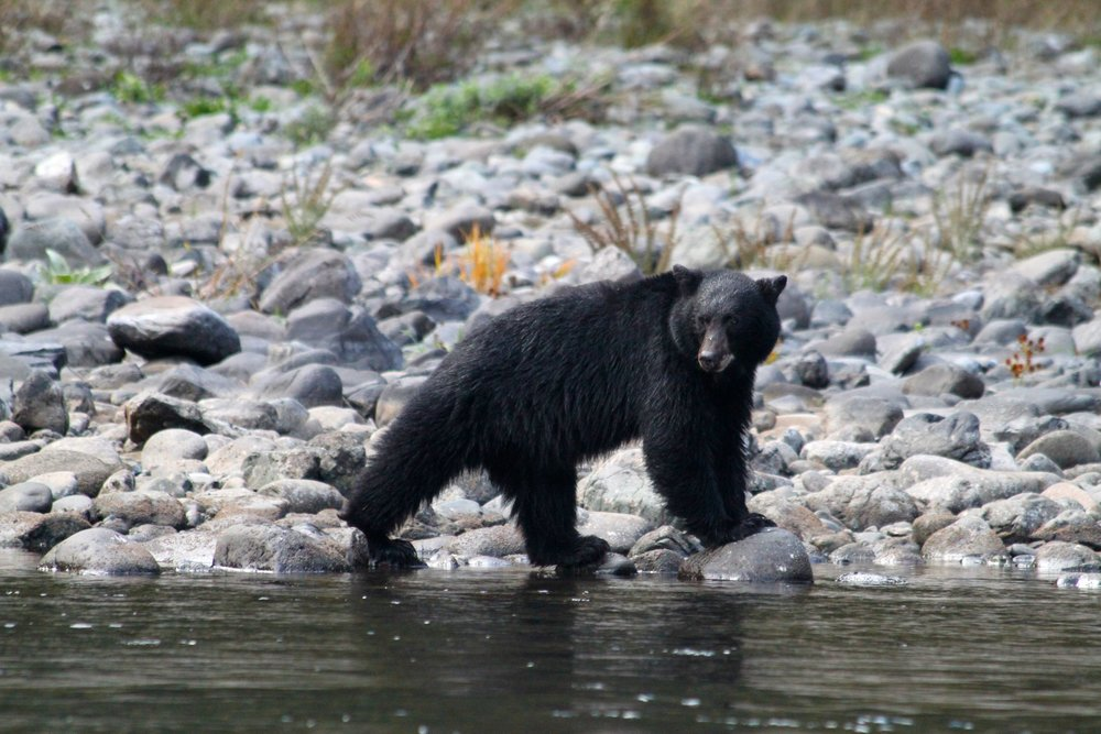 black-bear---rogue-river-rafting-trips---oregon_5375006718_o.jpg