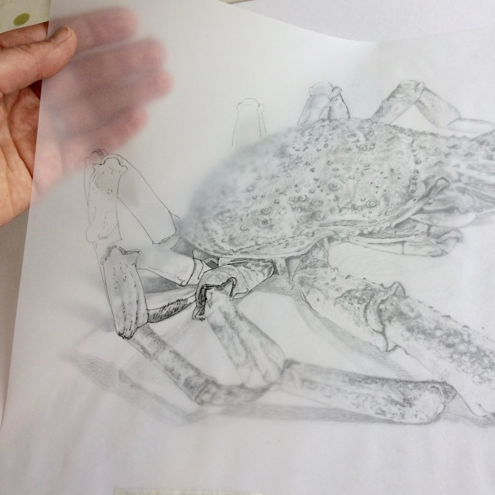 Tracing of Spider Crab Drawing