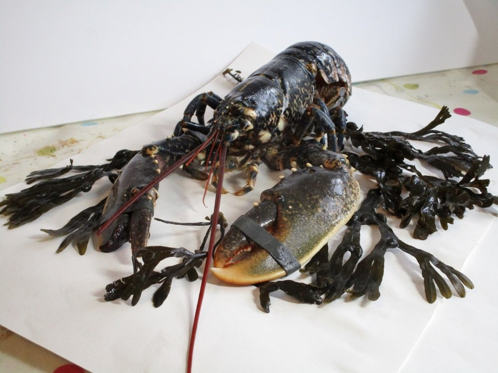 Native Lobster and seaweed still life