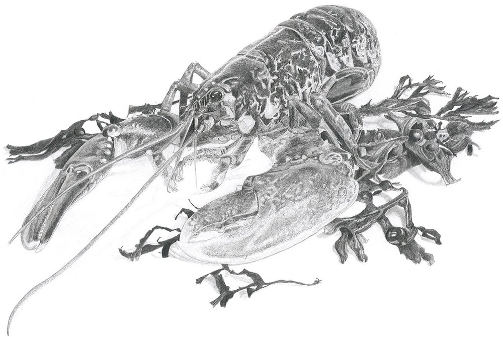 Native Lobster in Pencil