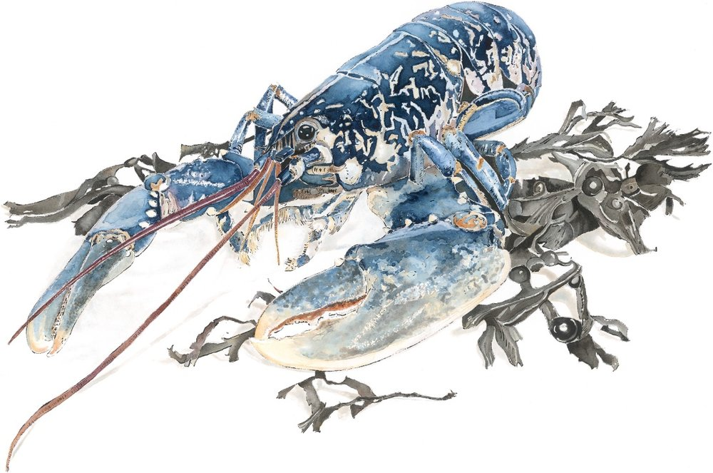 Native Lobster, blotted line and watercolour