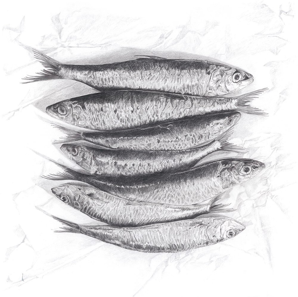 Sardines - pencil drawing by Lucy Clayton
