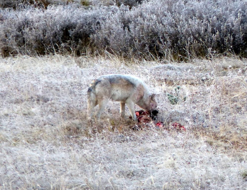 white wolf having breakfast