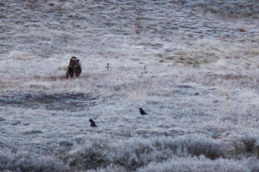 The ravens coming to steal from the grizzly