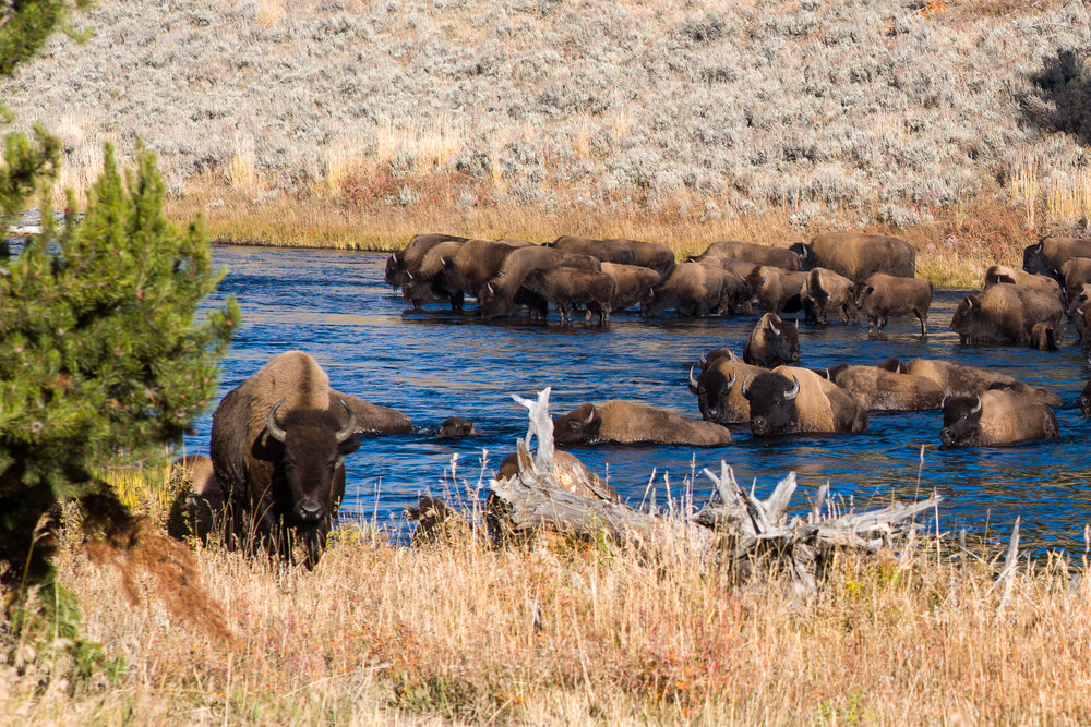 Bison crossing the Madison river