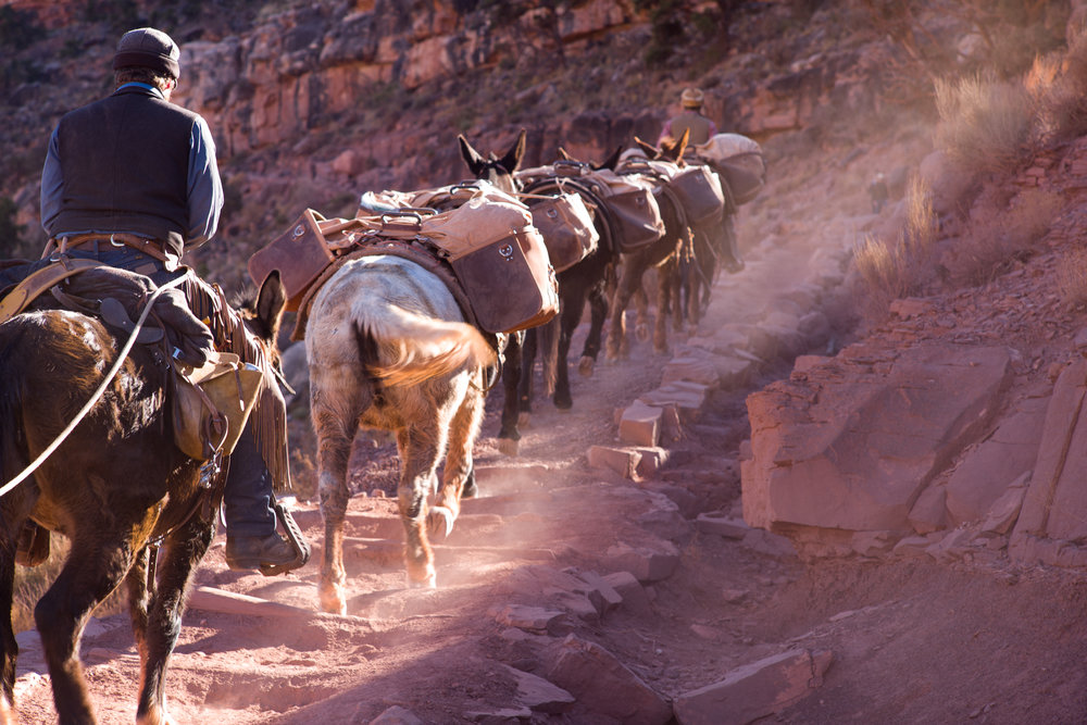 Mule team packing in supplies to Phantom Ranch