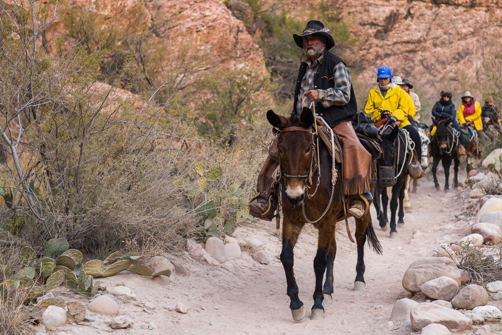 A Cowboy leading in a set of campers by mule