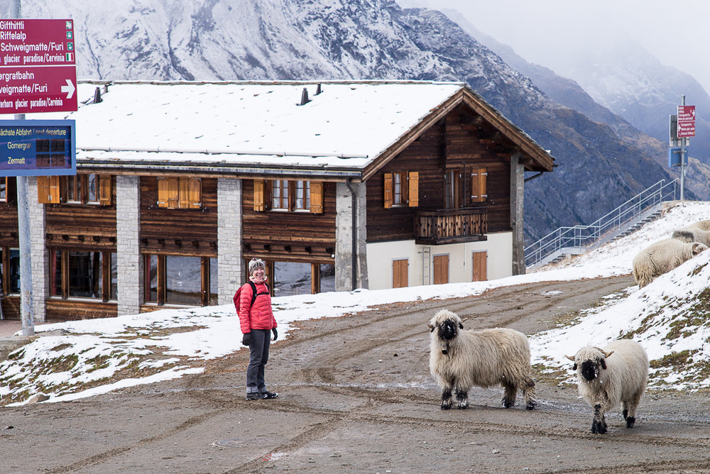 Hiking the Alps with Walliser black nosed sheep