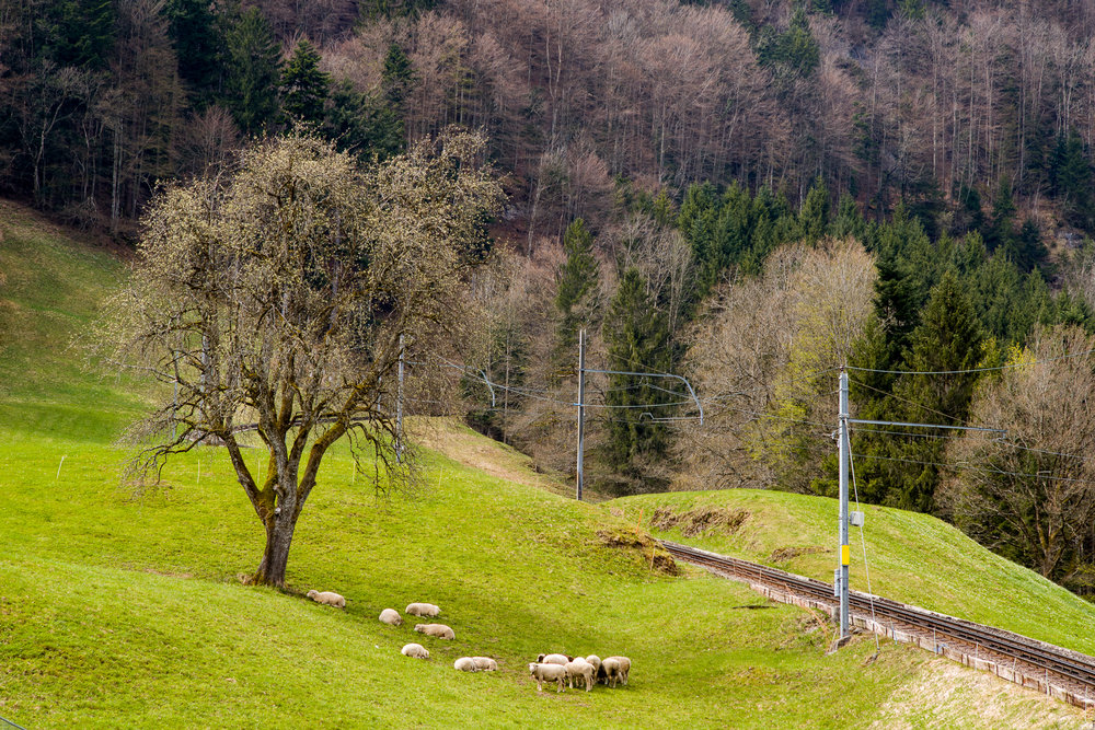 Pasture next to the Rigi Railway