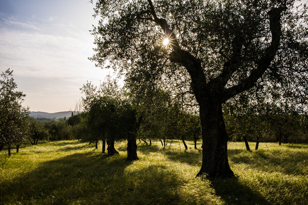 Olive Groves at the Tuscan Villa