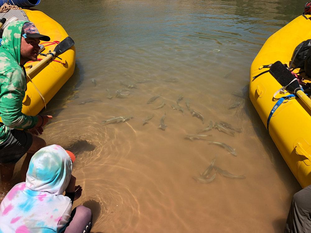 Fish in the Colorado River