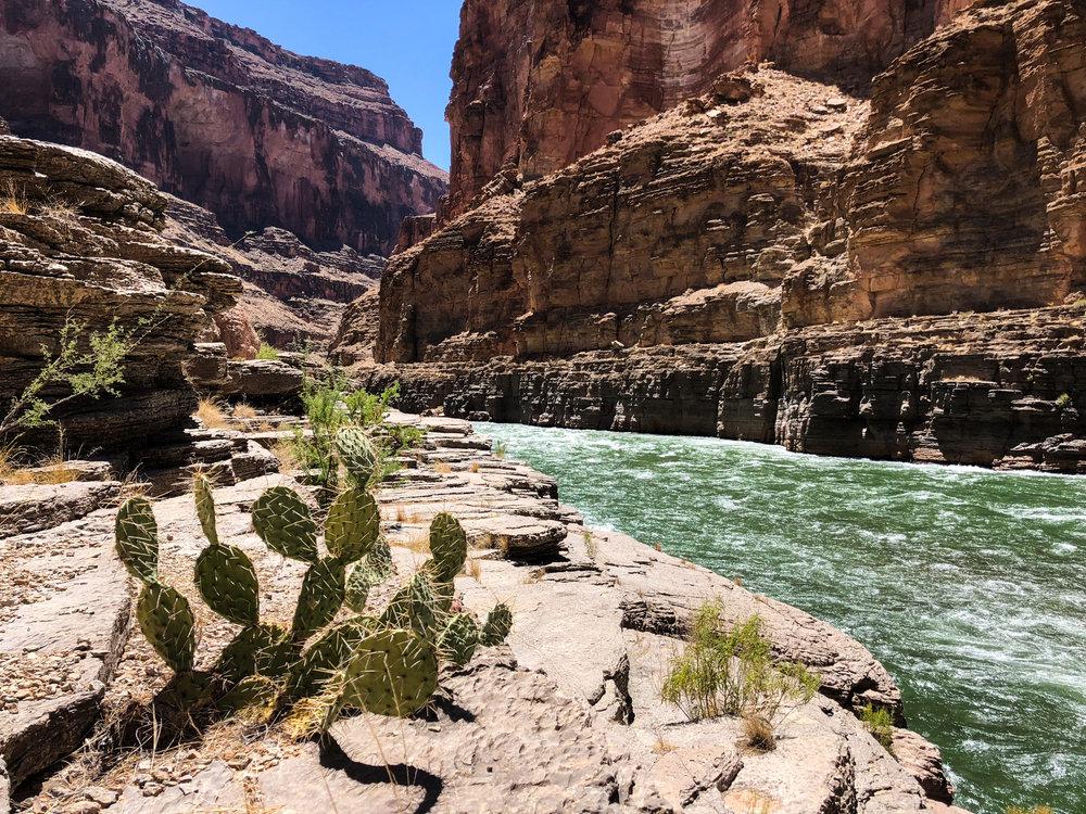 Cactus on the Colorado River at Havasu Creek